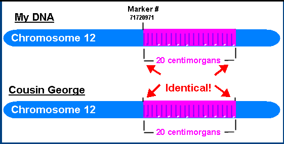 diagram of two chromosomes showing identical DNA sacross 20 cM